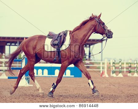 The Sports Horse Trots.