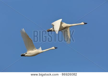 Pair Of Tundra Swans In Flight
