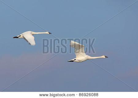 Pair Of Tundra Swans In Flight