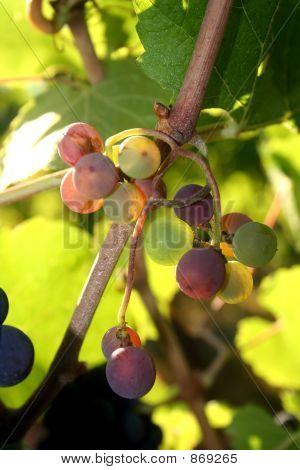 Multi-colored Grapes
