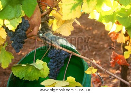 Harvesting a Grape Cluster