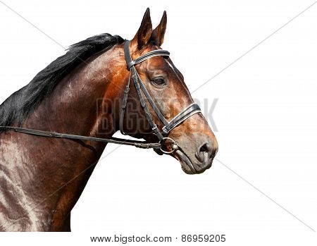 Portrait Of Bay Horse On White Background