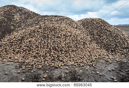 Heap Of Redundant Potatoes On A Field Edge