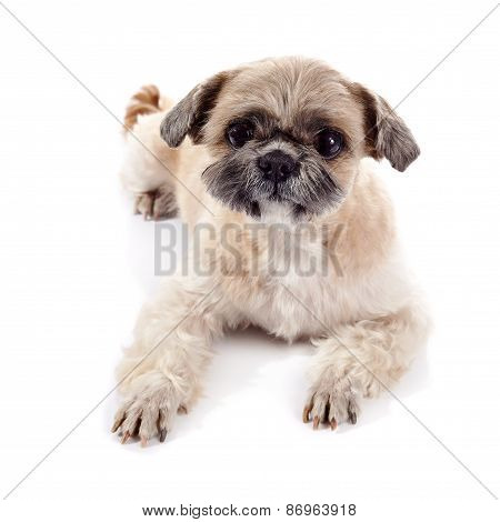 Small beige doggie of breed of a shih-tzu poster
