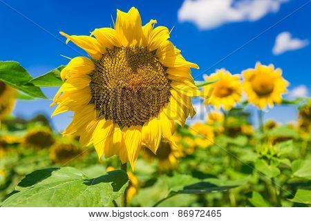 Big Yellow Sunflower With A Feasting Bee