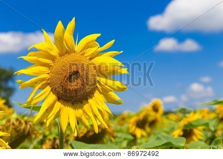 Close Up Of A Big Yellow Sunflower
