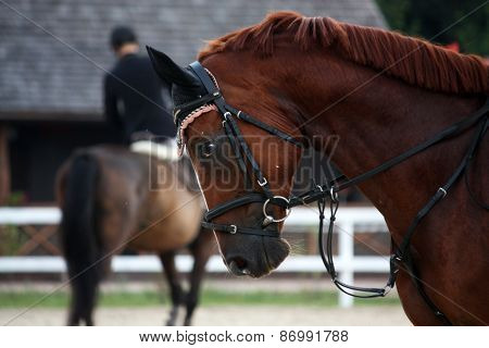 Portrait Of Sport Brown Horse In Tack
