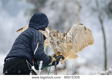 Falconer Wit Landing Eurasian Eagle Owl To Her Hand With Gauntlet.