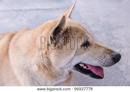 many of Dog tick bloodsucking insect on ear.