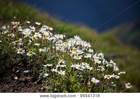 Field of daisies and wild flowers