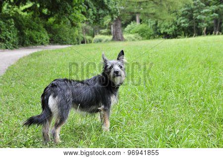 Mongrel dog, mongrel dog similar to the breed Cairn Terrier or a Australian terrier.
