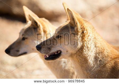 Wild Dingoes