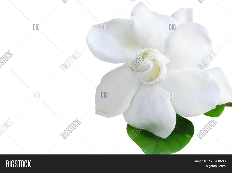Gardenia jasminoides image photo free trial bigstock gardenia jasminoides or cape jasmine flower on white background izmirmasajfo