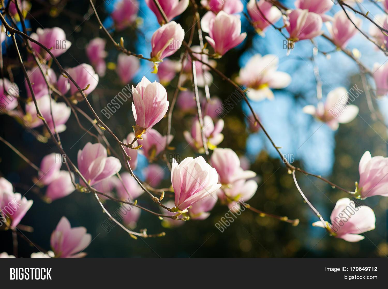 Blooming Magnolia Tree Image Photo Free Trial Bigstock