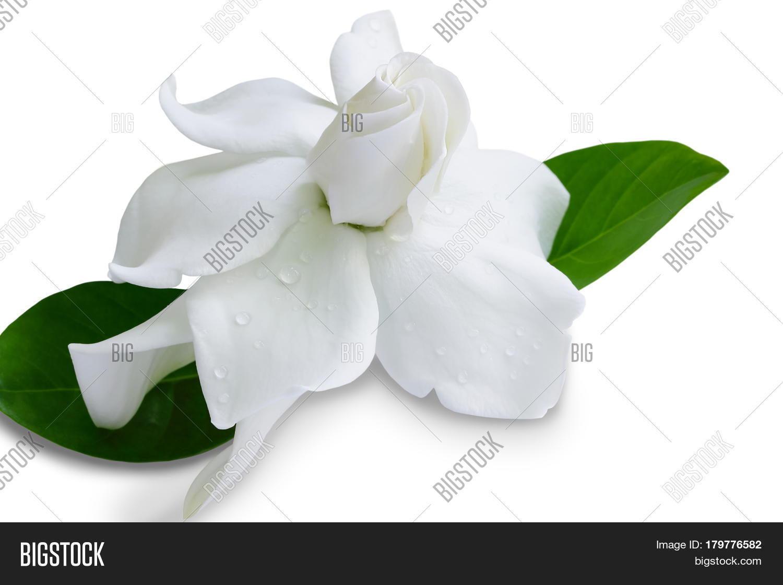 Gardenia jasminoides cape jasmine image photo bigstock gardenia jasminoides or cape jasmine flower on white background izmirmasajfo