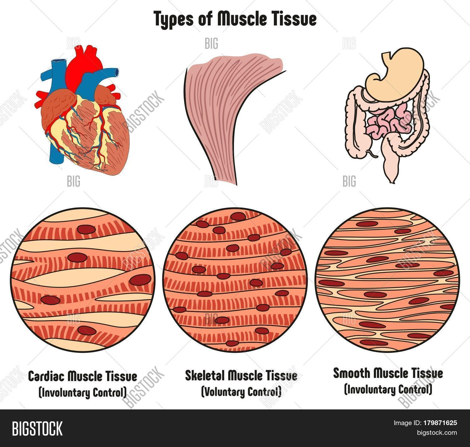Types muscle tissue human body image photo bigstock types of muscle tissue of human body diagram including cardiac skeletal smooth with example of heart ccuart Image collections