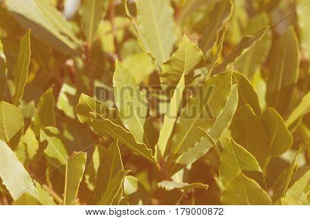 Image of green bay tree leaves / shoots (laurel / laurus nobilis) horizontal view toned image