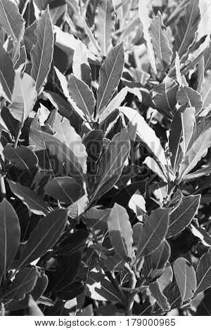 Image of green bay tree leaves / shoots (laurel / laurus nobilis) vertical view black and white image