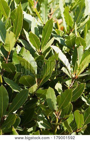 Image of green bay tree leaves / shoots (laurel / laurus nobilis) vertical view