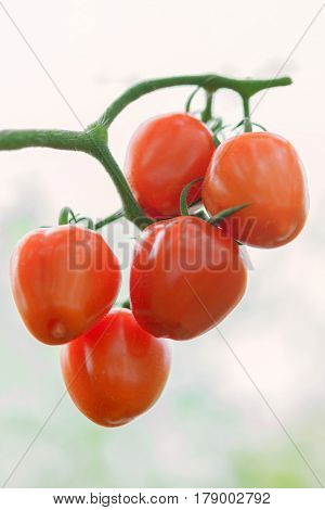 Closeup Of Ripe Natural Tomatoes ( Solanum Lycopersicum ) Growing On A Branch In A Greenhouse.