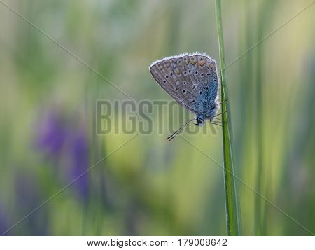 Common blue Polyommatus icarus, nature animal close up