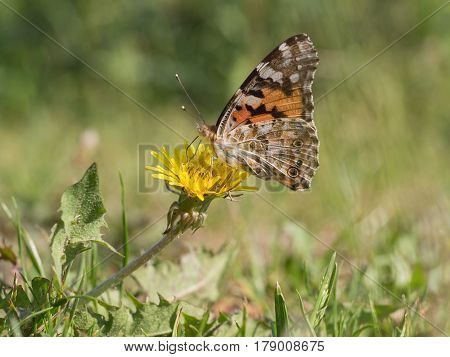 Painted lady cosmopolitan Vanessa cardui, nature animal close up
