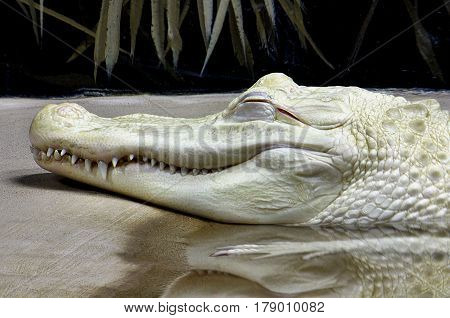 Albino Alligator resting in the water on bank.