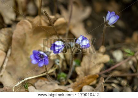 Many Violets