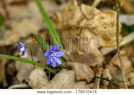 Violet Between The Old Leaves