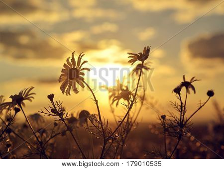 Marguerite on meadow at sunset. Spring landscape.