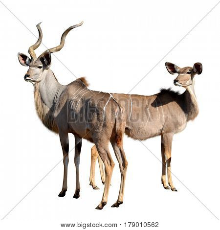Greater kudu isolated on a white background.