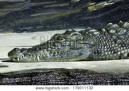 A Crocodile waits on a bank with a smile with a water background.