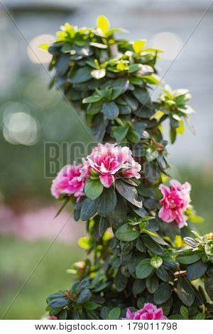 Natural background with blooming Azalea Indica Terra Nova. Spring sunny day in garden.