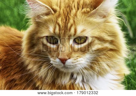 A close-up of an Orange Longhair Cat with a green background.