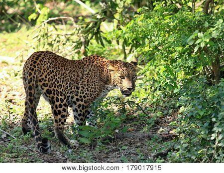 Sri Lankan leopard Panthera pardus kotiya going through wildlife. Big spotted cat in jungle at Sri Lanka