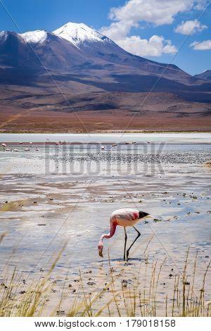 Pink flamingos in laguna Honda sud Lipez altiplano reserva Eduardo Avaroa Bolivia poster