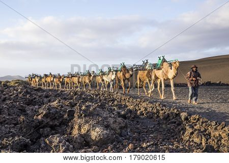 Camel Driver Guides The Camel Caravan Through The Volcanic Area Of Timanfaya