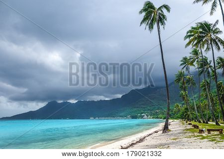Palm Trees On Temae Beach In Moorea Island