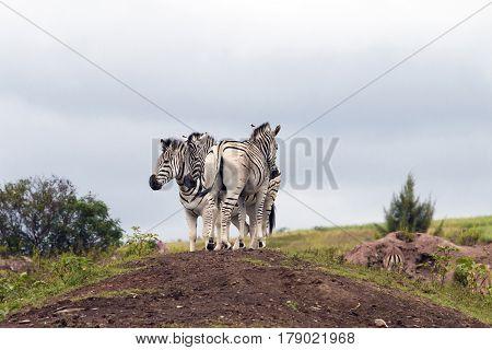 Zebras Grouped Together Resting On Sand Mound