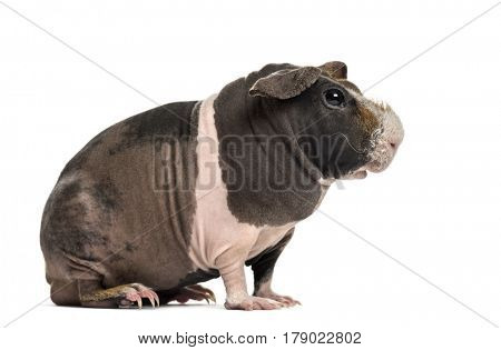 Side view of hairless guinea pig, isolated on white
