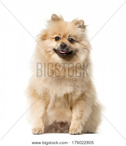 Keeshond sitting , isolated on white