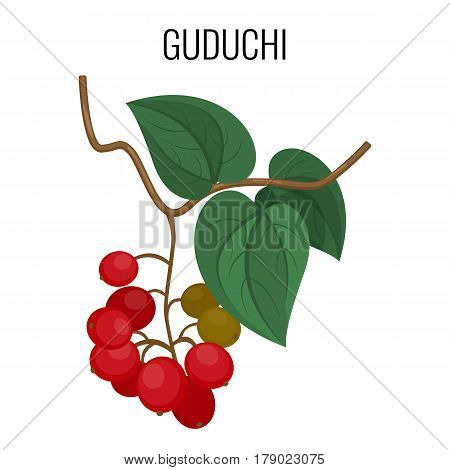 Guduchi branch with red berries and leaves isolated on white background. Tinospora cordifolia known as heart-leaved moonseed or giloy herbaceous vine. Realistic vector illustration of ayurvedic herb