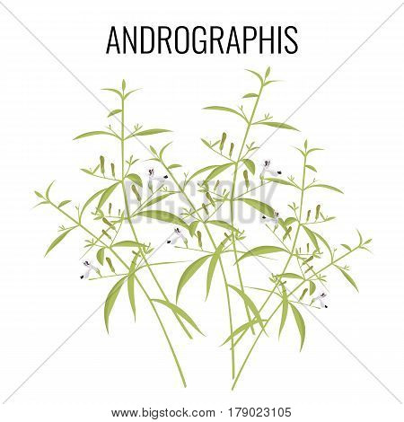 Andrographis flowering plant isolated on white background. Known generally as false water willows or periyanagai. May be herbs or shrubs, realistic vector illustration