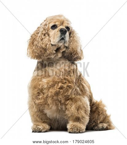 American Cocker Spaniel looking away, isolated on white, 4 years old