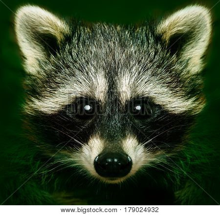 Portrait of a cunning raccoon, closeup, on a green background