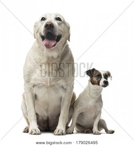 A Jack Russell Terrier and a Labrador Retriever sitting, isolated on white