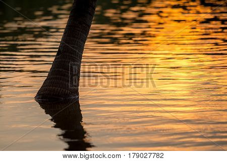 Tree of coconut or palm in flood water with sunset light on the evening.