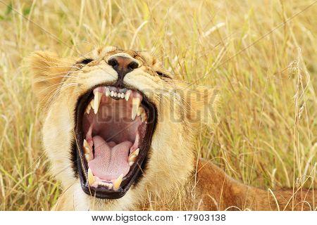 Masai Mara Lion Cub Yawning/growling