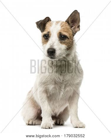 Jack Russell Terrier sitting, 2 years old, isolated on white