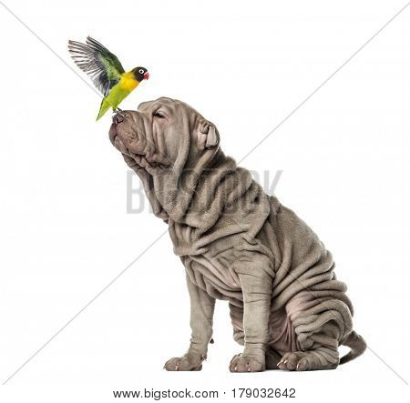 Yellow-collared lovebird sitting on the nose of a puppy Shar Pei, 10 weeks old, isolated on white